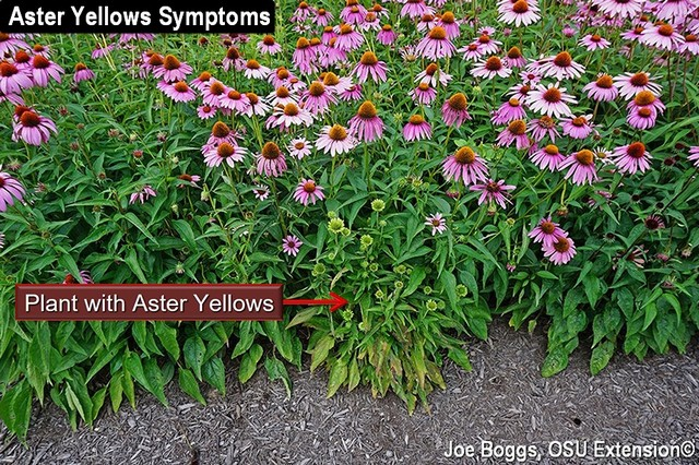 Identifying & Managing Aster Yellows